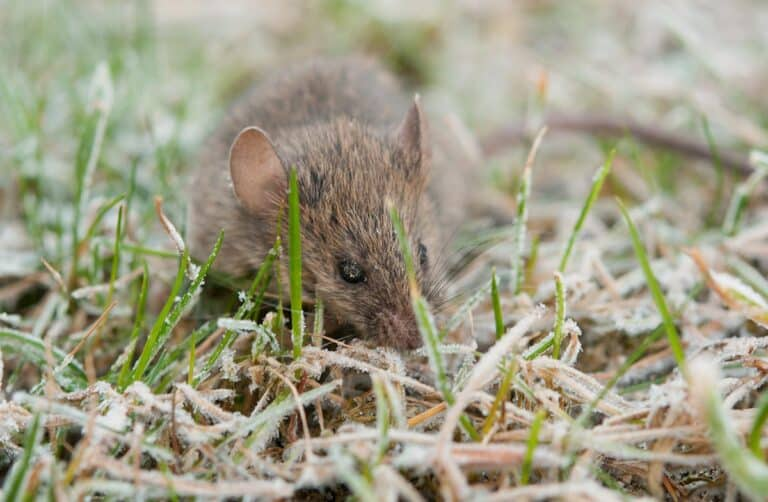wild mouse rodent